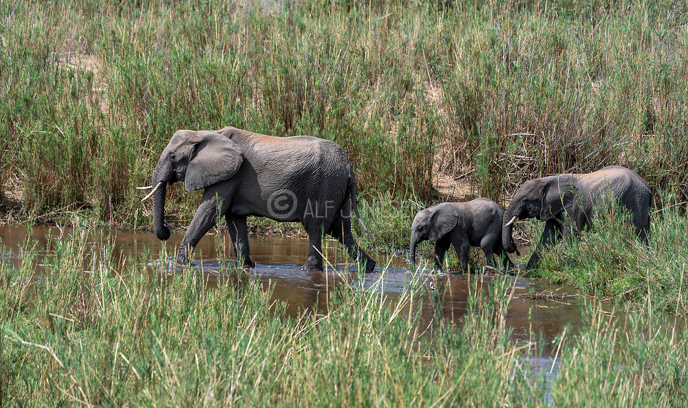 African elephants (Loxodonta africana) crossing a river in Kruger NP, South Africa.