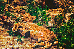 Warm Kitty, Soft Kitty, purr purr purr. Loving the 'tiny' big cats at the Saint Louis Zoo