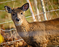 Young Doe. Image taken with a Fuji X-T2 camera and 100-400 mm OIS lens (ISO 640, 400 mm, f/5.6, 1/800 sec).