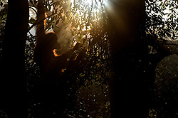 """A female Sumatran Orangutan wakes, emerges from her overnight nest she'd built and begins to feed on leaves.The dawn light feeds through the dense jungle canopy, lighting her and the surrounding jungle. Taken in the jungles of Northern Sumatran, Indonesia. . <br /> <br /> BIO: Craig's photography covering the plight of the Sumatran Orangutans has been published around the world on the BBC News, BBC Wildlife Magazine and National Geographic magazine. He's also appeared for Nat Geo WILD discussing Sumatra as part of the """"Paradise Islands & Photo Ark"""" Nat Geo series.  <br /> <br /> He's spoken at the Green Party Conference about palm oil and it's effects that he's seen firsthand.  Spoken at the Natural History Museum in London twice  on behalf of those critically endangered Sumatran Orangutans bringing their plight to the public's attention.<br /> <br /> He works tirelessly to bring about a more ethical approach to wildlife photography and has worked hard to bring this issue to the surface on the Kay Burley Show on Sky News and the Guardian.  <br /> <br /> He doesn't enter photography competitions and so can't claim to be """"award winning"""" <br /> <br /> His images represent an event that occurred in the wild something that he witnessed and recorded with his camera. His skill lies in interpreting and presenting this in a way that invokes beauty, mood and emotion with each moment captured. <br /> <br /> As an ex soldier he tries to help those injured by war or previous trauma. Showing the beauty of the natural world and how it can heal and add such a lot to the persons life. He's done many podcasts talking about this in the hope his own experiences will help others. Modern Mann - Nature / Nurture podcast being just one.<br /> <br /> https://www.modernmann.co.uk/new/naturenurture<br /> <br /> He has never forgotten his roots , his late mother for instilling the beauty of nature into him and his childhood love of wildlife that is behind his work today.<br /> <br /> Website: """