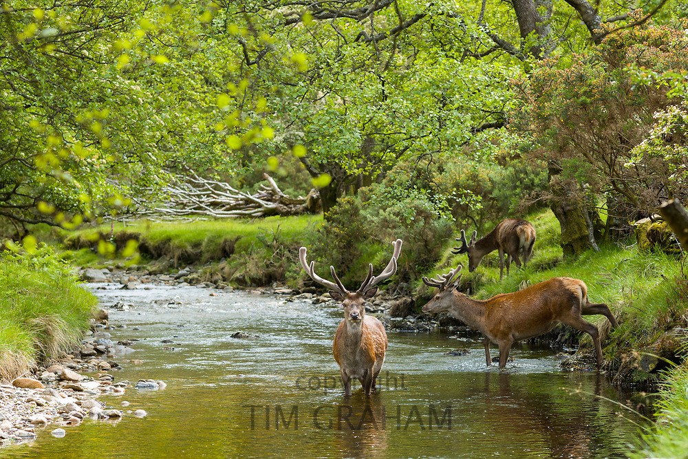 Red Deer stag, Cervus elaphus, adult mature male with large antlers beside young males in river scene at Lochranza, Isle of Arran, Scotland