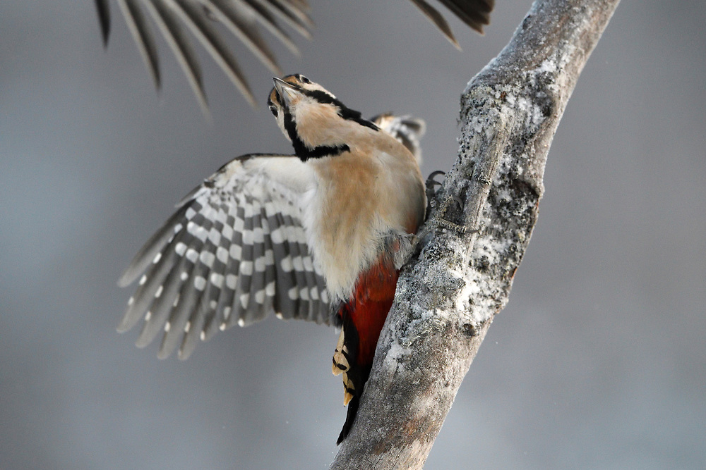 A female Great Spotted Woodpecker bird, Dendrocopos major, sitting on a tree and photographed in action in Kalvtrask, Vasterbotten, Sweden