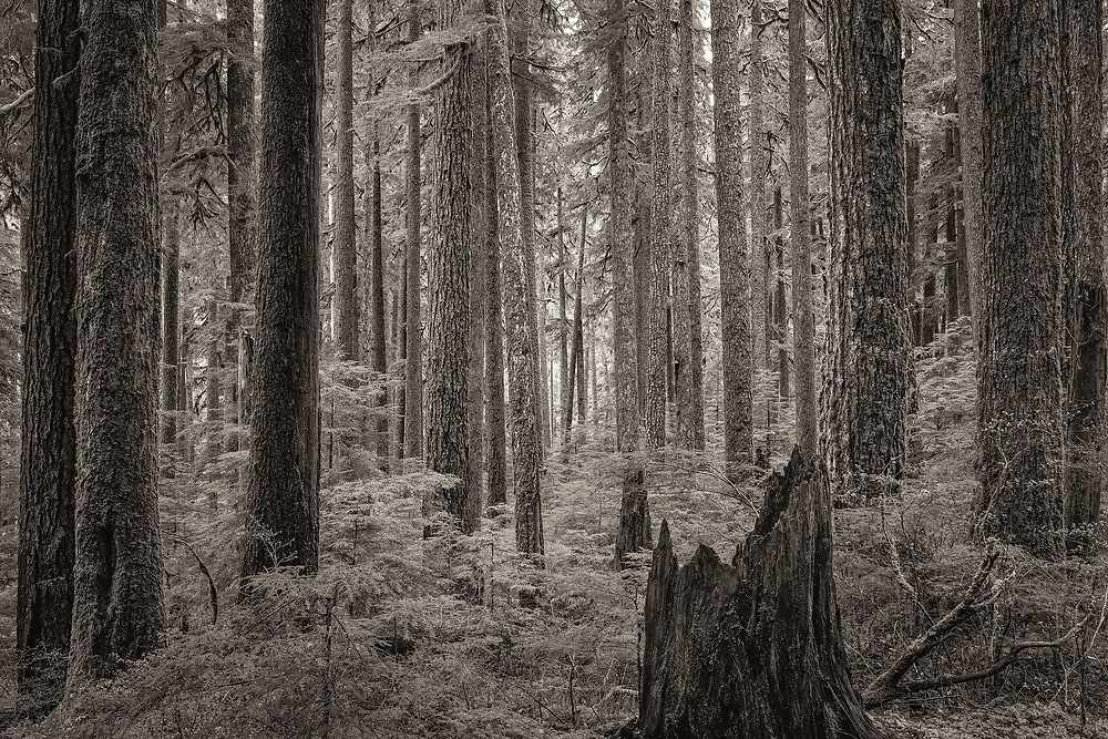 A glimpse into an ethereal rainforest in Olympic National Park, WA.