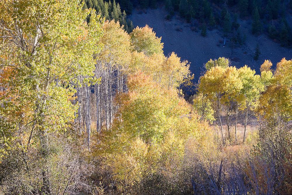 Brilliant autumn trees, Sun Valley, Idaho,