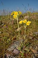 Field Fleawort - Tephroseris integrifolia<br /> subsp tundricola, Varanger, Norway