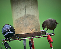 Brown-headed Cowbird. Image taken with a Nikon D5 camera and 600 mm f/4 VR lens (ISO 1600, 600 mm, f/5.6, 1/1250 sec).