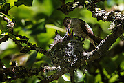 A mother hummingbird feeds one of her two babies in their tiny nest up in a pear tree. <br />