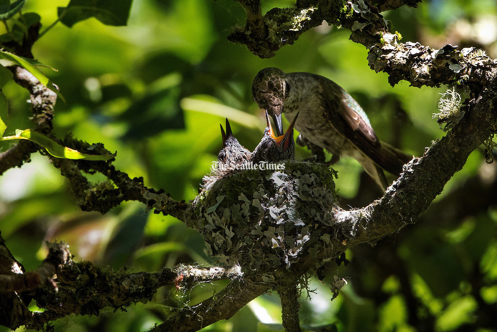 A mother hummingbird feeds one of her two babies in their tiny nest up in a pear tree. <br /> <br /> Ellen Banner / The Seattle Times