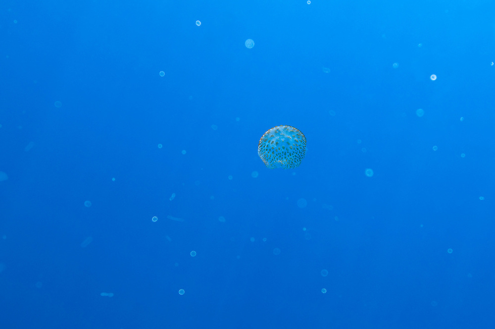 The pelagic world with a true jelly fish, Pelagia noctiluca, in the mid section. Pico, Azores, Portugal