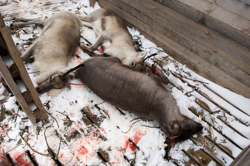 Hirvas Salmi, FINLAND. October 14, 2007-  Slaughtered calves lie in newly fallen snow.
