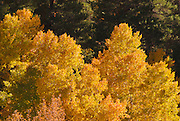 Golden fall aspens along Rush Creek, eastern Sierra Nevada Mountains, California