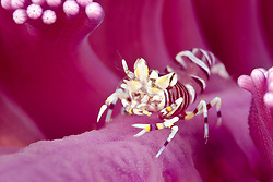 Juvenile Striped Bumblebee Shrimp, Gnathophyllum americanum, on Sea Pen. Beangaban Bay, Pulau Pantar, Alor region, Indonesia