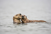 Sea otter female biting pup and draggin it away
