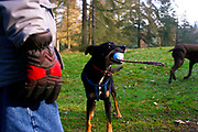 Bryn, a mongrel dog plays with his toy in Bedbridge National Pinetum, Kent, UK