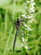 aeschna dragonfly rein orchid Insects, bugs, and arachnids among other invertebrates in southern BC and Vancouver Island in the Pacific North-West.