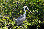 Brown Pelican in tree branches, Islamorada, Florida Keys, USA