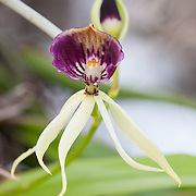 Clamshell orchid (Prosthechea cochleata), Fakahatchee Strand State Park, Florida.
