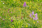 Common Spotted Orchid, Dactylorhiza fuchsii, growing in a meadow in Middleton Dale, Peak District