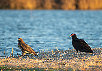 A Red-tailed Hawk, Buteo jamaicensis, and a Turkey Vulture, Cathartes aura, perch together on the ground at Sacramento National Wildlife Refuge, California