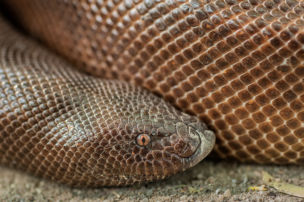 John's Earth Boa (Eryx johnii) Juvenile<br /> Gujarat, INDIA<br /> CAPTIVE<br /> A boa which can reach up to 90cm.  They are stout, heavy and muscular snakes more or less uniform in girth from head to tail with little constriction at the neck. The head scales are a little larger than the back scales. These snakes have a mental (chin) groove and a pronounced angular ridge on the muzzle. They have a short, stumpy, rounded tail and in general form very simular to the head. <br /> They are deft and speedy burrowers nosing their way into the earth by using the transvese ridge on its snout as a digging implement. On the ground it is slow moving.<br /> They feed mainly on mammalian like rats, mice and other small mammals which are killed by constriction. They are non-venemous.<br /> This boa is ovoviviparous and lays eggs.<br /> RANGE & HABITAT: Widely distributed in the plains of the Indian subcontinent. In hills up to 600 meters.<br /> STATUS: Common.<br /> Snake charmers who carry this species often mutilate the tail, making marking to suggest eyes and cutting a transverse incision at the tip, which leaves a scar suggesting a mouth. <br /> In south India they believe that a bite or lick from this snake can cause leprosy. In Punjab they believe that if one bites someone the same person will be bitten on each succeeding annivesary by the same snake, which will be visible only to its victim.