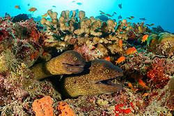 Gymnothorax flavimarginatus, Gelbgefleckte Muraene, Zwei Muraenen im Korallenriff, yellow edged moray, Two morays in coralreef, Malediven, Indischer Ozean, Baa Atoll, Maldives, Indian Ocean