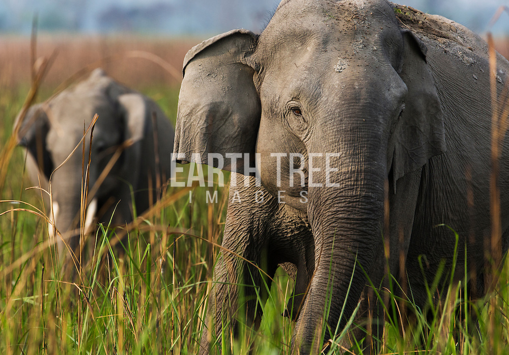 Asian elephants are seen on the plains of the Kaziranga National Park. The park is a world heritage site and arguably India's finest wildlife sanctuary. The wildlife park is famous for its one-horned rhinoceroses. In fact, two thirds of the world's rhino population can be found here. Kaziranga is also home to the Indian tigers and is also a tiger reserve. Photo: Paul Hilton for Earth Tree Images