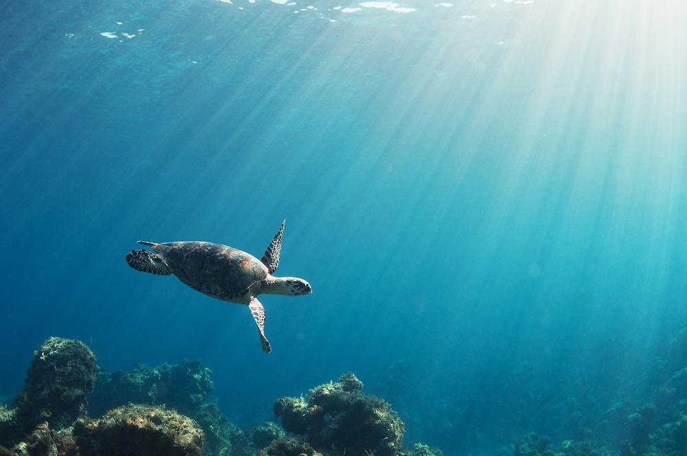 Hawksbill Sea Turtle (Eretmochelys imbricata) swimming over reef in The Bahamas.