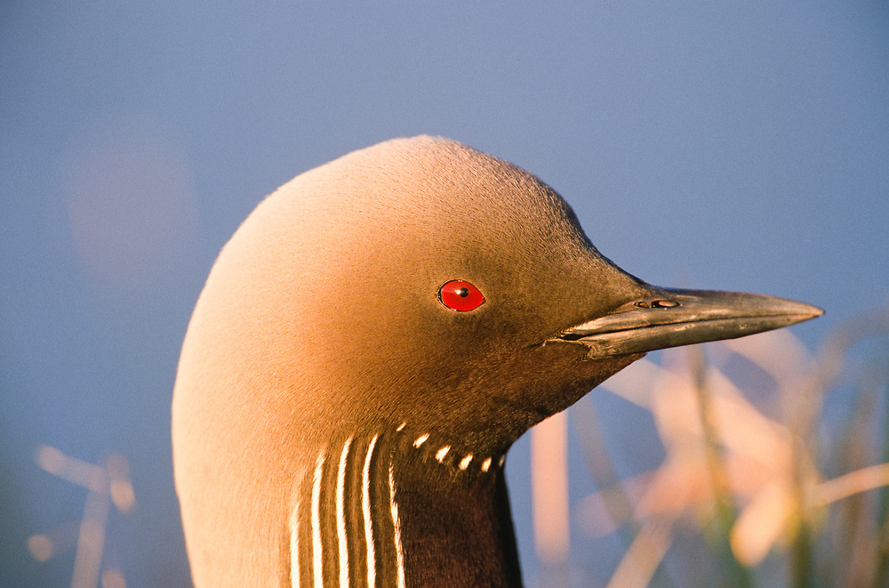 Alaska. Pacific Loon ( Gavia pacifica)