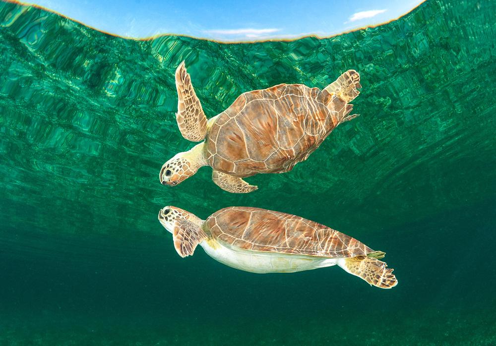 A green sea turtle (Chelonia mydas) swims towards the surface for a breath of air. Eleuthera, Bahamas.