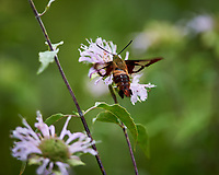 Clearwing Hummingbird Moth (Hemaris thysbe). Image taken with a Nikon Df camera and 300 mm f/4  lens