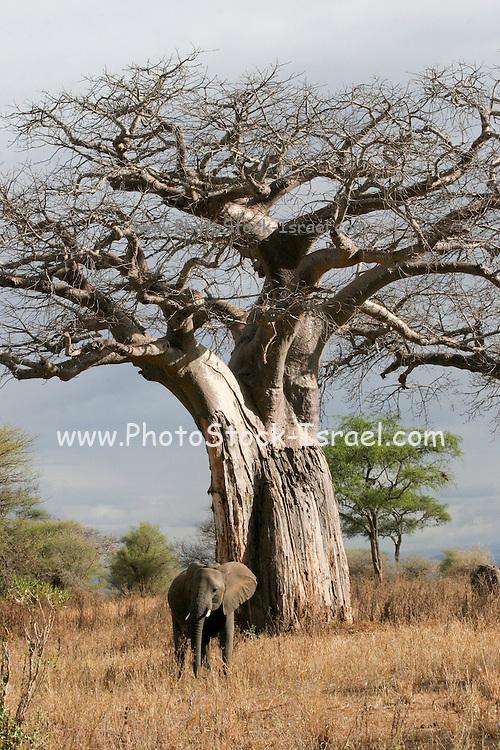 Elephant under a baobab tree, at Tarangire National Park, United Republic of Tanzania, Tarangire Park is located about 120km from Arusha, south east of Manyara.