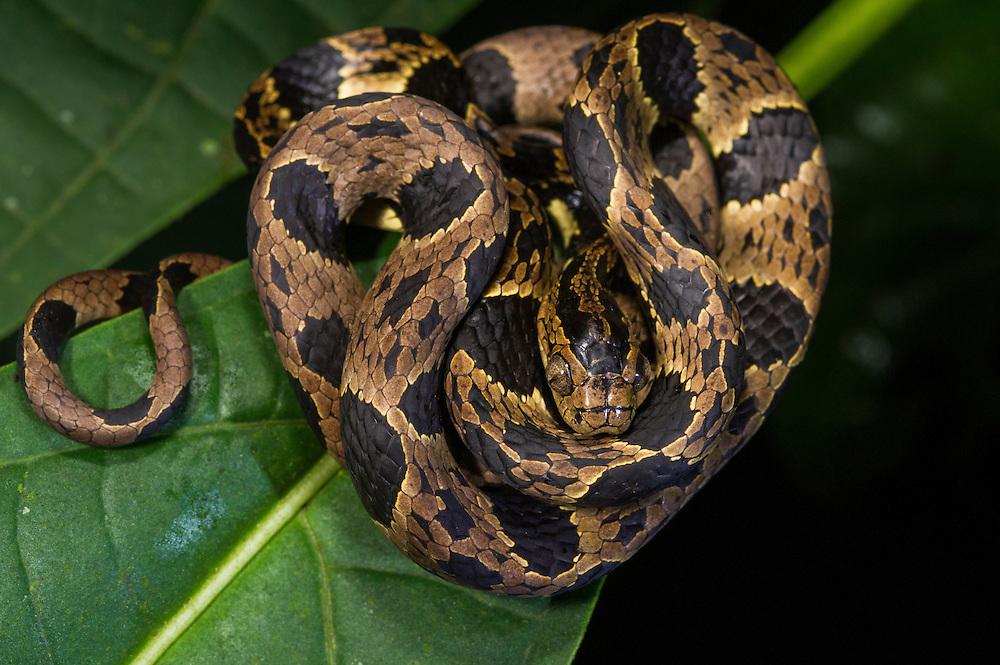 Andean Snail-Eater (Dipsas andiana)<br /> Mashpi Rainforest Biodiversity Reserve<br /> Pichincha<br /> Ecuador<br /> South America