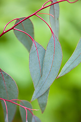 Eucalyptus rubida - adult foliage