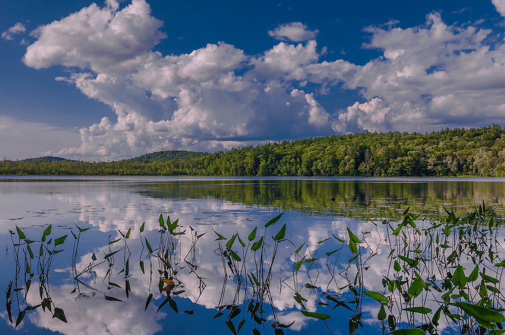 Pickerel weed & calm water reflections in Gile Pond in summer, Sutton, NH