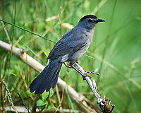 Gray Catbird. Image taken with a Nikon D3s camera and 600 mm f/4 VR lens.