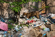Fossa in rubbish (Cryptoprocta ferox)<br /> Kirindy<br /> Southwestern Madagascar<br /> MADAGASCAR<br /> ENDEMIC