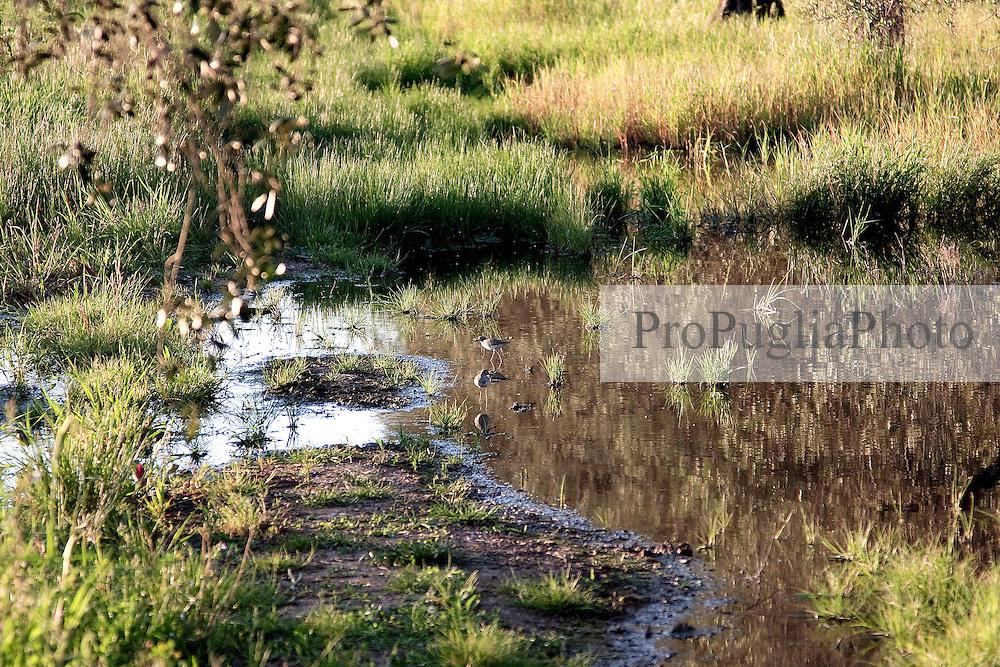 """Uccelli acquatici nella palude che si è creata dall'esondazione del bacino in zona """"Vore"""" di Casarano. Data la situazione di inondazione perenne delle campagne circostanti molte specie di volatili acquatici hanno preso a popolare la zona."""
