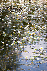 Common water-crowfoot growing in a pond. Ranunculus aquatilis