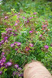 Rosa 'Veilchenblau' with Eccremocarpus scaber - Chilean glory flower, Glory vine