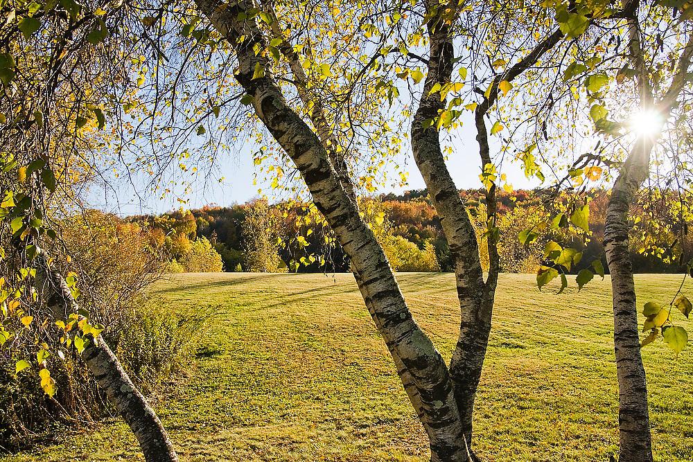 Birch trees (Betula sp) on a ranch near Jeffersonville, New York.