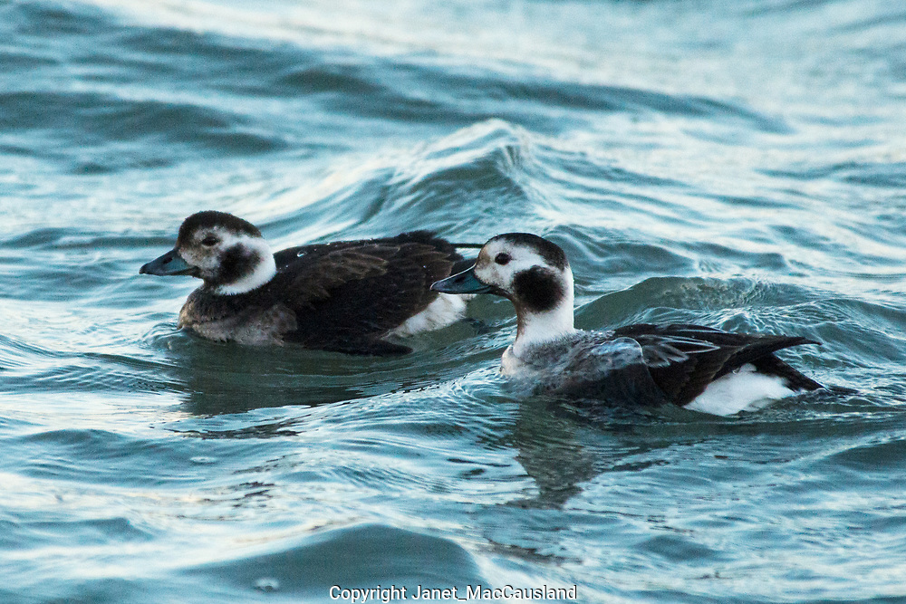"""This was the first time I saw some Long-tailed Ducks (formally Old Squaw) off our local coast. They come down from the high arctic nesting grounds, like the Snowy Owls but I think they are less common. Their population is listed as """"Vulnerable"""". I plan to go back and get some more, brighter images. But until then, I will have to be happy with these. A flock winters off Martha's Vineyard."""