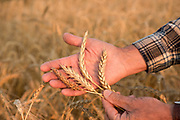 Dr. Stephen Jones evaluating wheat in the WSU research fields in Mt. Vernon, WA.