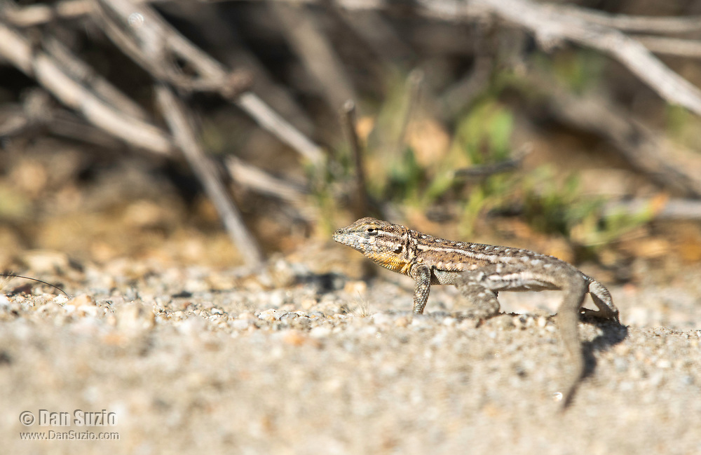 Female Side-blotched Lizard, Uta stansburiana, in Coachella Valley Preserve, near Palm Springs, California