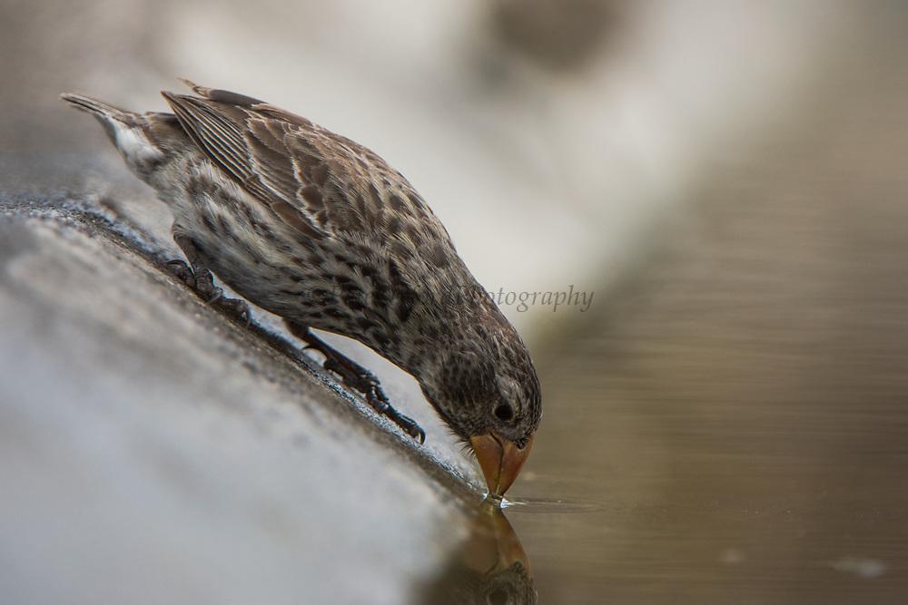 Medium Ground Finch (Geospiza fortis) Female<br /> Floreana Island<br /> GALAPAGOS ISLANDS,<br /> Ecuador, South America<br /> ENDEMIC