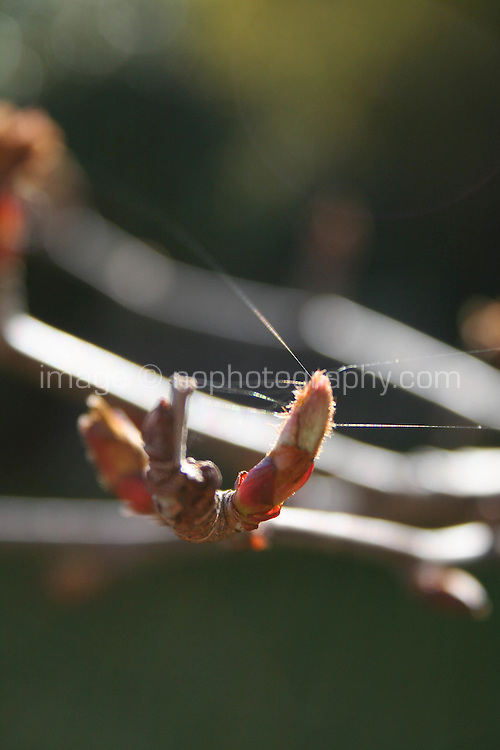 Close up detail of tree branch buds