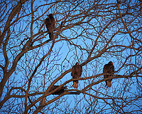Three Turkey Vultures in a tree.  Image taken with a Fuji X-T1 camera and 100-400 mm OIS lens (ISO 200, 291 mm, f/5.6, 1/240 sec)