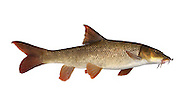 Barbel Barbus barbus Length 20-70cm<br /> A slim-bodied, streamlined and attractive fish. The mouth is sited for bottom feeding and bordered by sensory barbels. Adult has a silvery-brown body and reddish brown fins; the dorsal fin is arched with an incurved outer margin. The Barbel is locally common in moderate flows of larger rivers, mainly in central and S England.