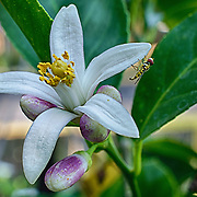 We have a small lemon tree which recently came back into bloom.  I was very fortunate to have an unexpected model present while shooting the birth of this new fruit!