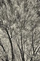 Trees, Palo Alto, California.