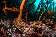 Kelp forest (Laminaria hyperborea), Atlantic Ocean, Strømsholmen, North West Norway | Ein Kelpwald oder Algenwald, der  hauptsächlich vom Palmentang (Laminaria hyperborea) gebildet wird. Strømsholmen, Norwegen